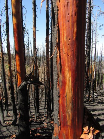 Red trees after the Dollar Lake Fire.