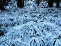 Fresh snow on Bear Grass.