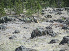 I had two different siting of marmots on the this hike. Neither let us get at all close but this one stuck around long enough to get a photo from a distance of him.