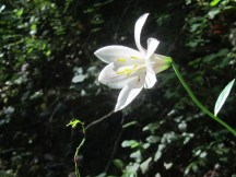 Found a Cascade Lilly in bloom near the end of my hike.