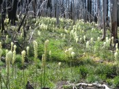 The blooms on the trail was this patch of bear grass. Most of the trail through the burn is dominated by fireweed.