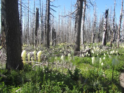 Bear Grass blooming around the burned trees.