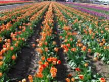 Tulip_DSCF1220