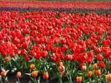 Tulip_DSCF1237