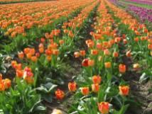 Tulip_IMG_4429