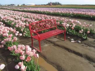 Tulip_IMG_4440