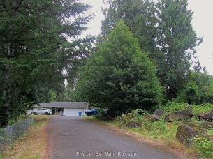 Chestnut Tree by driveway