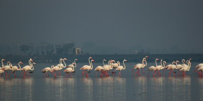 Flamingoes march on the lake