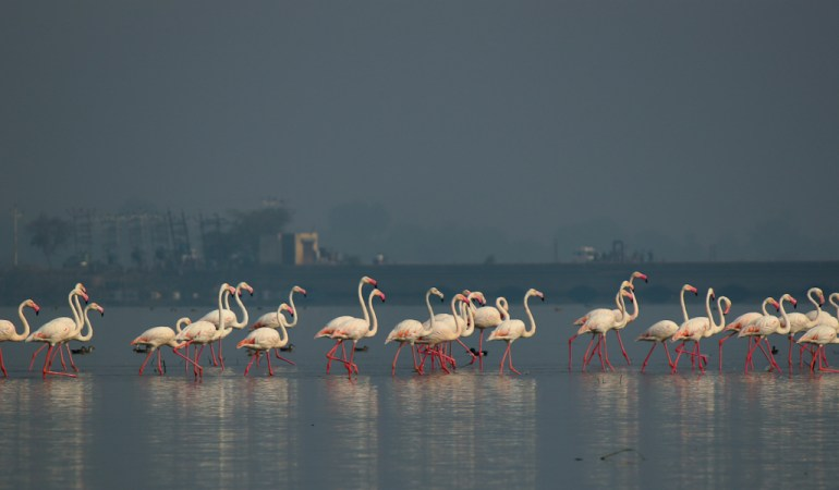 Flamingos on the backwaters of Bhigwan