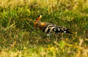 A common Hoopoe forages in the grass