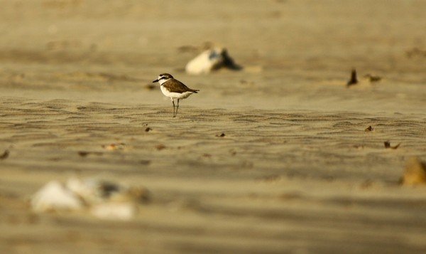 A Plover on the beach