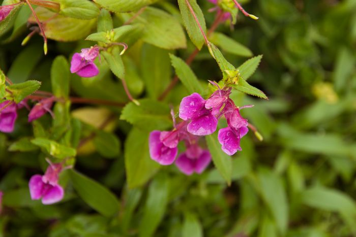 Impatiens lawii, an endemic species that can be found on the rocky plateaus of Maharashtra and Karnataka and nowhere else