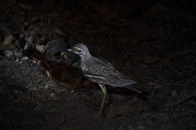 We spotted this Eurasian Thick-Knee or Stone curlew during our night safari