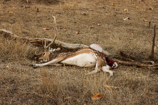 We came across this rather freshly killed spotted deer