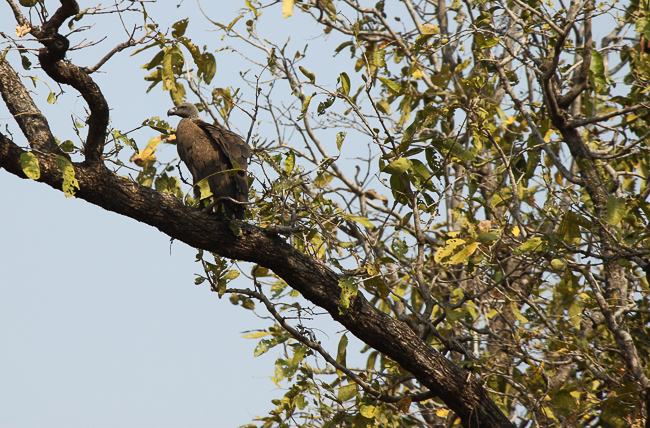 A long billed vulture sits by the deer kill