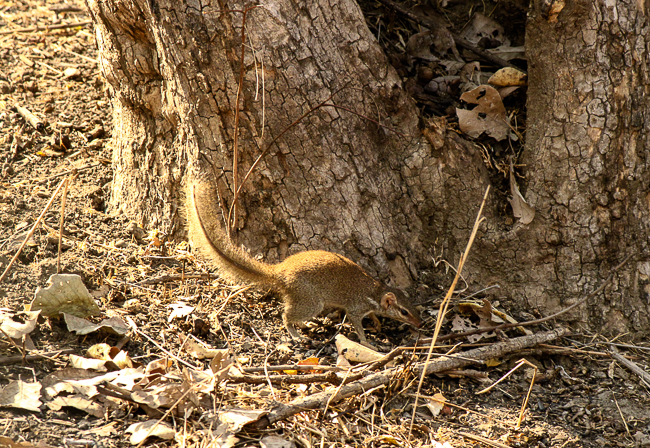 We were lucky to spot this treeshrew