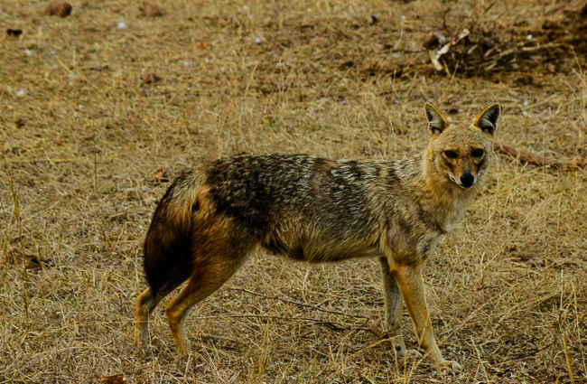 A jackal that we spotted near the deer kill