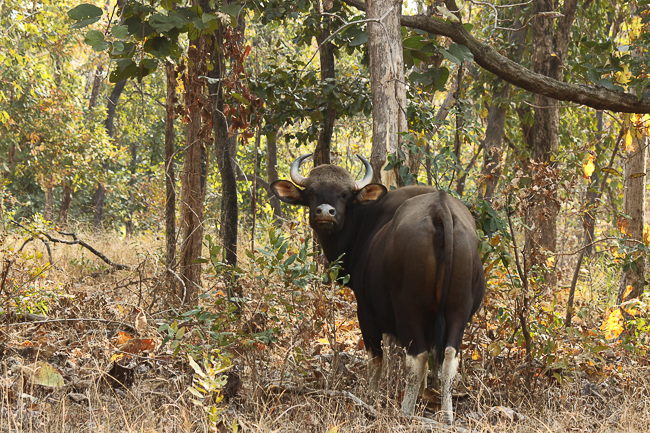 We spotted an Indian Bison