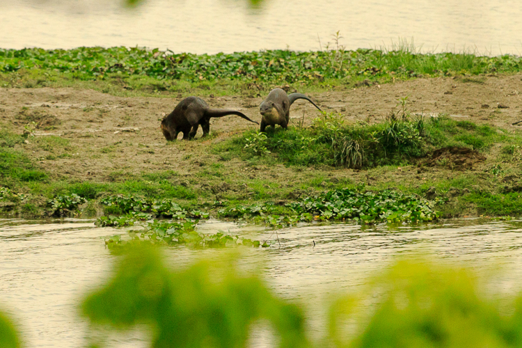 A pair of otters frolic by the river bank