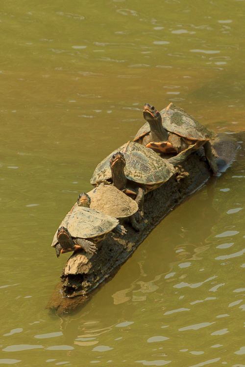 Terrapins rest on a log in the water