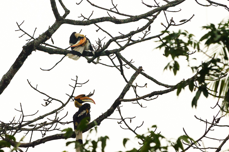 A hornbill indulges in some extreme acrobatics to get at an itch (yes, we all know that feeling)