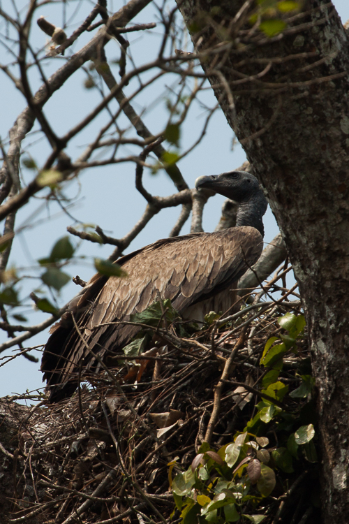 We spotted this lone vulture in the trees