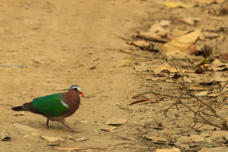 An Emerald Dove forages along the Jeep trail