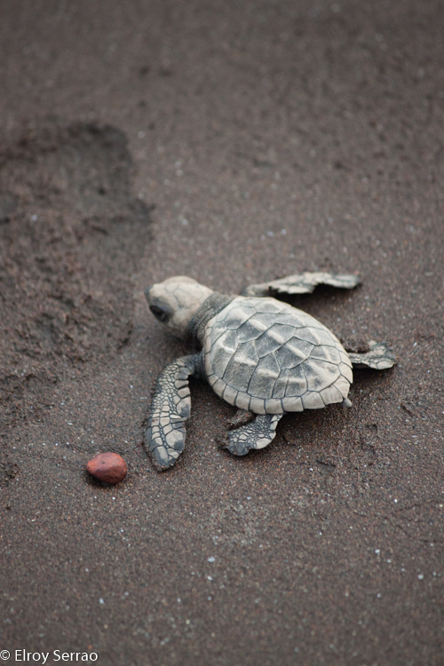 A little turtle hatchling crawls into the sea