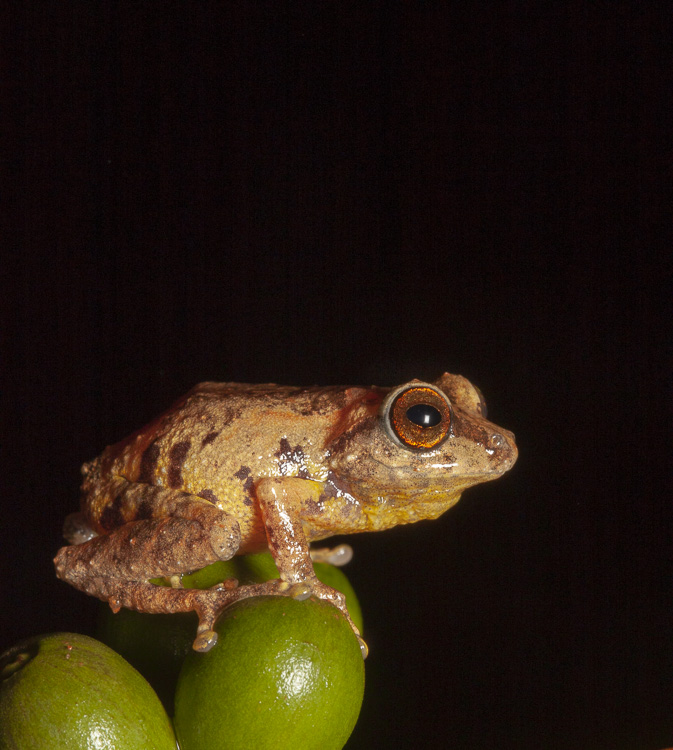 A Ponmudi Bush Frog (Raorchestes ponudi) sits on some cofee beans
