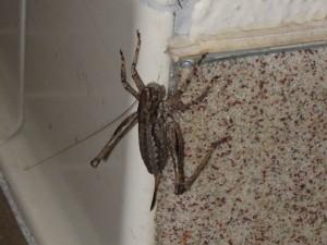 monster cricket