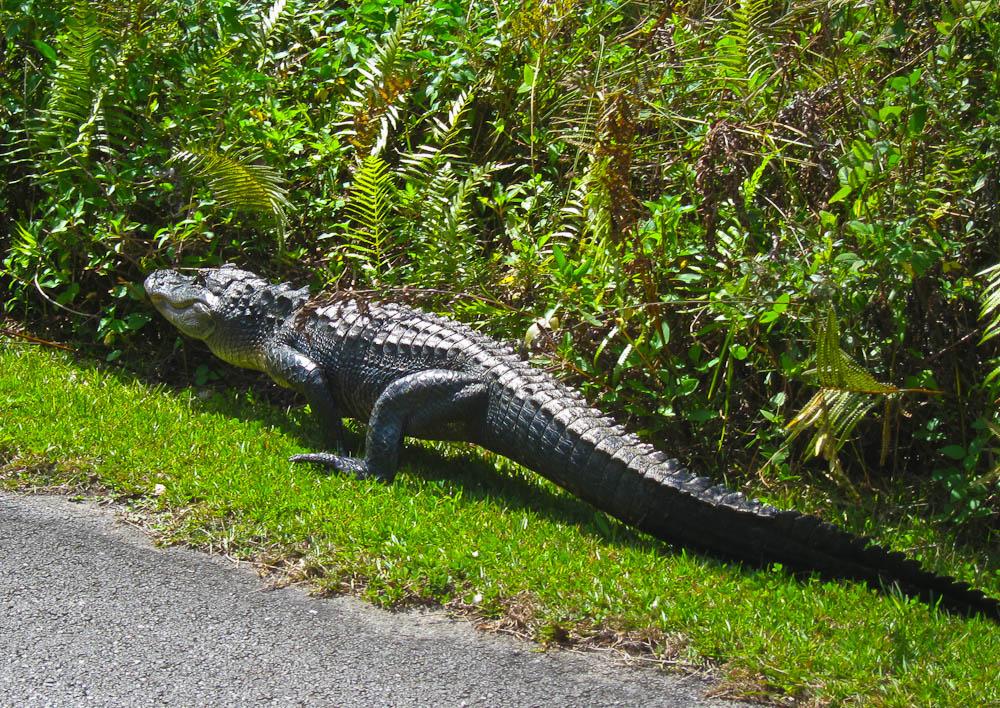 Alligator Running Away