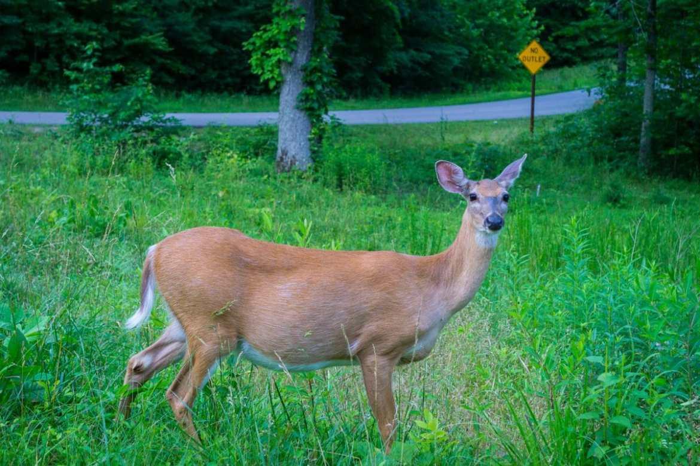 Deer at Mammoth Caves National Park