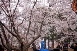 High-Park-cherry-blossoms-1-12