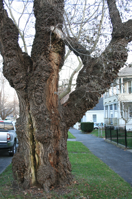 the gnarliest tree in Bristol