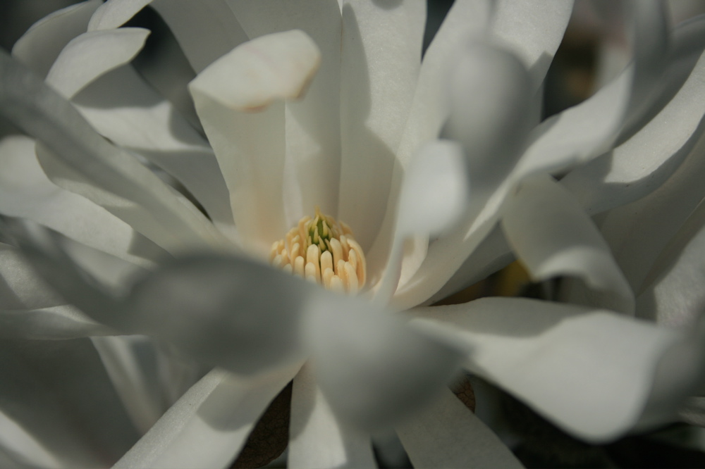 Star magnolia - my favorite rescue plant
