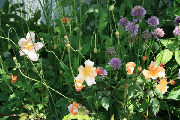 Rosa mutabilis, Atlantic poppies and chives