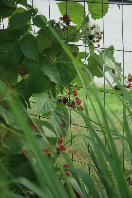 thornless blackberry in the frontgarden border