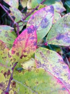 high bush blueberry (Vaccinium corymbosum)