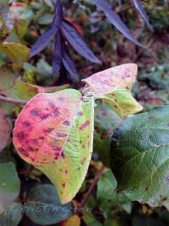 Koreanspice viburnum (V. carlesii 'Compactum')