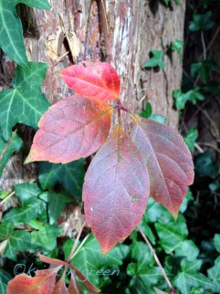 woodbine/Virginia creeper (Parthenocissus quinquefolia)