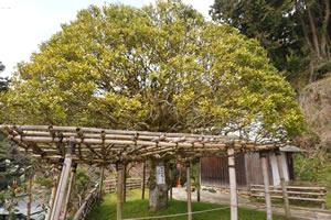 竹生島もちの木
