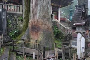 三峯神社ご神木02