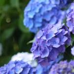 紫陽花 花言葉 色別 画像
