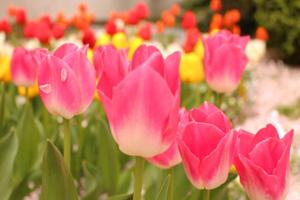チューリップ 花言葉 意味 画像