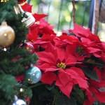 ポインセチアをクリスマスに飾る理由や花言葉は?