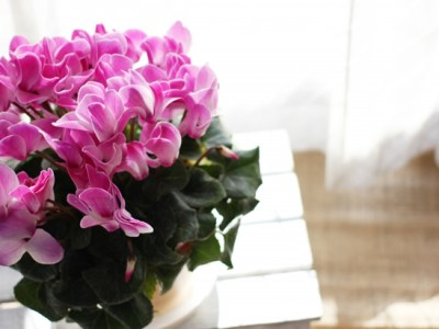 クリスマスの花にシクラメンがおすすめ?選び方や育て方のコツもご紹介!