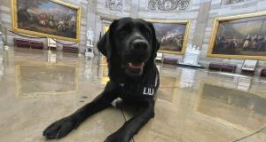 Meet Lila ,the 3- Years - Old Labrado Who's A New Member Capitol Police