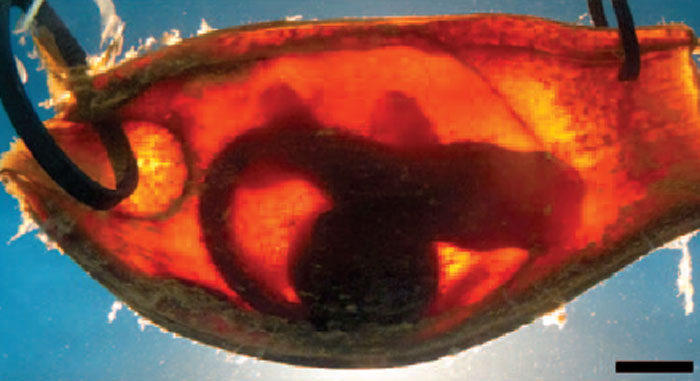 Shark embryos can detect danger