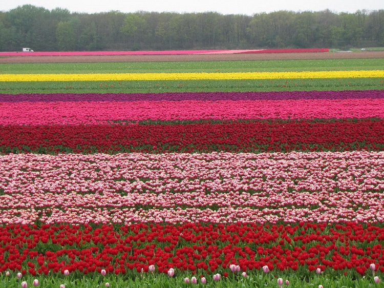 Tulip Fields (The Netherlands)