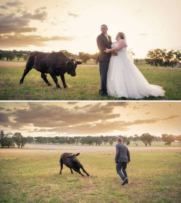 A bull interrupted two newlyweds photo shoot